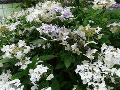 Hydrangea macrophylla 'Lanarth White' avec mutation