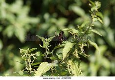 Nettles Butterfly Stock Photos & Nettles Butterfly Stock Images - Alamy