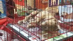 """Soy Guadalupe, una amante de los animales. Viviendo en Asunción he visto como dentro del predio del Shopping Mariscal López  la veterinaria """"Golden pet"""" vende irresponsablemente animales en pésimas condiciones  desde hace años.   Estas ventas realizadas en el estacionamiento del Shopping se dan en..."""