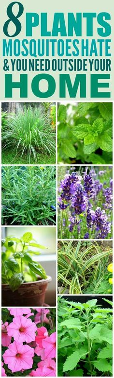 These 8 Amazing Mosquito Repelling Plants are THE BEST! I'm so happy I found these AMAZING plant ideas! Now I have a great way to keep myself from getting bitten from mosquitoes! Definitely pinning! #LandscapingIdeas