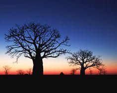 Baobab Trees, #WesternAustralia Baobab tree More at FOSTERGINGER @ Pinterest