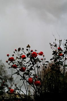 floralls: Winter roses (by Destiny Dawson)