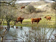Schotse Hooglanders in een oeromgeving van De Kennemerduinen