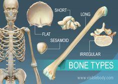 Overview of 5 bone types, long, short, flat, irregular, and sesamoid