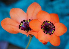 harlequin flower | Tumblr