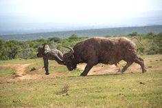 Filhote de Elefante, atacado por Bufalo Adulto