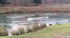 """""""O Grito do Bicho"""": Cisne macho vai partindo o gelo para facilitar à f..."""