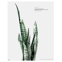 Affiche Urban botanic Sansevieria