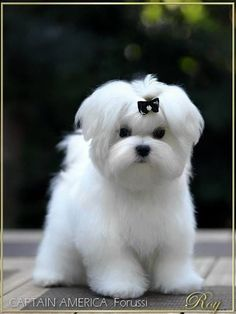 Maltese and Children: Is It a Good Combination - Champion Dogs Cute Puppies, Cute Dogs, Dogs And Puppies, Doggies, Cute Baby Animals, Animals And Pets, Maltese Dogs, Teacup Maltese, Malteser