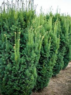 Privacy Trees are popular among homeowners around the world. Have yours delivered from The Tree Center. Hinoki Cypress, Popular Tree, Privacy Trees, Trees Online, Foundation Planting, Sun Plants, Low Maintenance Plants, Cypress Trees, One Tree