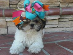 """Shih-Tzu (Shih-tzu Kou or """"Lion Dog""""), is the Chinese name rendered according to the Wade-Giles arrangement of romanization in use back the ..."""