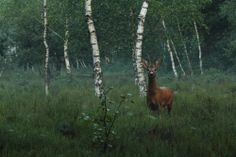 Roebuck Photo by Miha Predalič -- National Geographic Your Shot