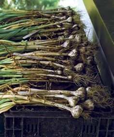 All about garlic - how to plant, grow, harvest and store.