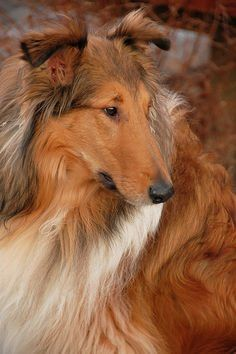 Breed Love: Rough collie | Doggerel
