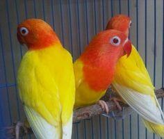 Love Birds Pet, Budgies, Parrots, African Lovebirds, Colorful Birds, Animals And Pets, Fisher, Hobbies, Pop