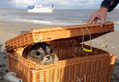 Peek-a-boo! This is Lisa, a harbor seal that's returning to wild life in Juist Island, Germany. =D