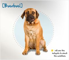 "Did you know the Boerboel hails from South Africa, and its name translates to ""farm dog?"" Read more about this breed by visiting Petplan pet insurance's Condition Checker!"