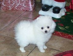 free-ads.eu - Dogs - Puppies classifieds: Charmer Too is AKC registered Pomeranian puppies