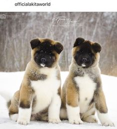 Dogs Such cute furry puppies! Sharing is caring, don't forget to share ! Akita Puppies For Sale, Cute Puppies, Cute Dogs, Dogs And Puppies, Beagle Puppies, Doggies, Big Dogs, I Love Dogs, Animal Magazines