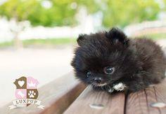Teacup black Pomeranian puppy love