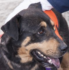 Nina is 2 to 3 years old and a little on the timid side.  She is sweet but needs some work on the leash.  She only weighs about 45 lbs.Please email uafdogs@gmail.com to learn more about this dog.Our adoption fee of $125.00 helps cover expenses...