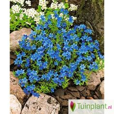 Steenzaad (Lithodora diffusa 'Heavenly Blue')