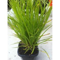 Lomandra Little Pall is a small, hardy native plant and has narrow, light green leaves.