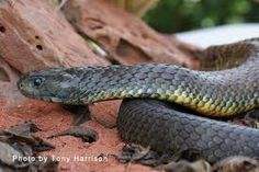Tiger Snake - Solidly built snake with a large broad flat head. Highly Venomous. Bites from this species have caused human fatalities.