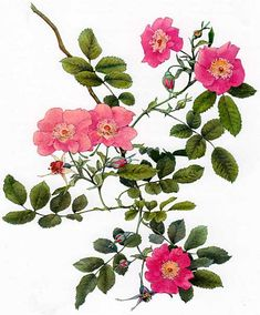 Picturing Plants and Flowers: Alfred Parsons: Rosa carolina