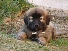 Cao da Serra da Estrela - puppy