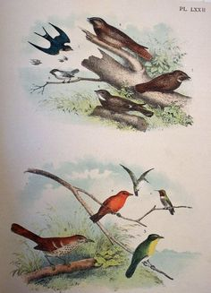"c. 1895 Large Old Book Page 12"" x 14 3/4"". Come check out the over 100 other large and beautiful old book bird pages priced $5, $10 and $20!"