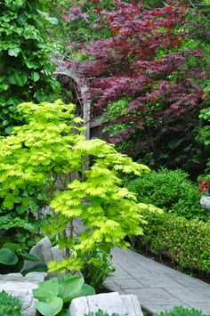 Three Dogs in a Garden: Japanese Maples