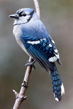 http://images.northrup.org/picture/xl/bluejay/bluejay-in-the-rain.jpg