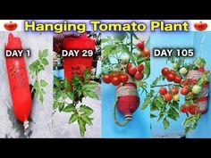 Very New Method To Grow Tomato Plant in Hanging Bottle Balcony Gardening, Balcony Plants, Outdoor Plants, Gardening Tips, Tomato Planter, Tomato Garden, Organic Liquid Fertilizer, Rose Plant Care, Micro Garden