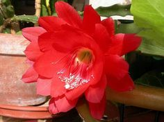 Disocactus ackermannii : is a species of cactus in the family Cactaceae, formerly known as Epiphyllum ackermannii. It is native to Oaxaca, Veracruz in Mexico. Disocactus ackermannii is commonly known as Disocactus, Orchid Cactus and Strap Cactus.  Disocactus ackermannii is a slow-growing, multi-stemmed plant with an established root system. It grows well in light shade and is suitable for hanging basket. It produces red or red-orange flowers. Propagation is by stem cuttings.