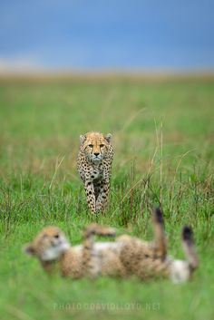 Two Cheetahs by David Lloyd on 500px