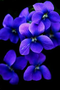 Fantastic Absolutely Free Violet flores Thoughts Making use of their incredibly formed unclear actually leaves, his or her sleek and stylish shape as