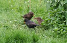 """From Kate Smith: """"I love watching the wildlife in my Cambridgeshire garden and this blackbird family captured my imagination. The look on mum and baby's face as to whether the worm was going to go down was comical. Fortunately (for the blackbird), he hadn't bitten off more than he could chew."""" #ViewFromYourHome #competition"""