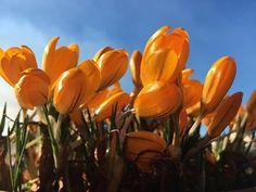 #Crocus #Flower #Vaerlandet