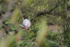 magnolia soulangiana - Ein Kurzurlaub im botanischen Garten von Hamburg • Blumen & Pflanzen Blog • 99Roots.com