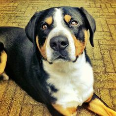 ♥DS♥ 137 Entlebucher Mountain Dog Schnauzer, Pretty Animals, Cute Animals, Entlebucher Mountain Dog, Bernese Mountain, Laughing Dog, Westminster Dog Show, Swiss Mountain Dogs, Training Your Dog