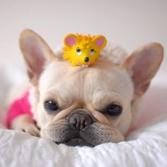 Cute Frenchie with toy mouse