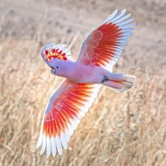 """Rob Arnol on Twitter: """"A Major Mitchell's Cockatoo. Pretty flash eh?… """" Tropical Animals, Colorful Animals, Tropical Birds, Colorful Birds, Wildlife Photography, Animal Photography, Photography Flowers, Beautiful Birds, Animals Beautiful"""