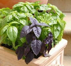 2 leaves of basil see what is good 2 leaves of basil see what is good , 2 yaprak reyhan bakın nelere iyi geliyor , Çiçek Source by Herb Garden, Vegetable Garden, Garden Plants, Bonsai Garden, Growing Tomatoes Indoors, Growing Herbs, Grow Tomatoes, Container Gardening, Gardening Tips