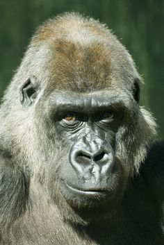 smiler 1 by wrighty Save Animals, Animals And Pets, Los Primates, Gorillas In The Mist, Animals Are Beautiful People, Ape Monkey, Planet Of The Apes, Fauna, Animals