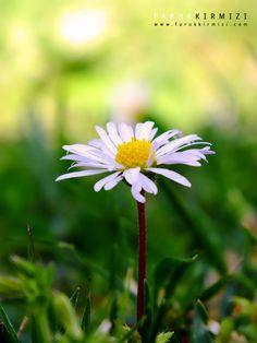 500px'te Faruk Kırmızı tarafından Daisy fotoğrafı #daisy