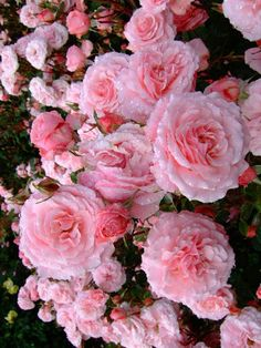 As they appear on the rose bush in the garden. Floribunda means that this rose blooms many clusters of roses at the same time! Special Flowers, All Flowers, Flowers Nature, Pretty Roses, Beautiful Roses, Beautiful Gardens, Rose Images, Rose Pictures, Rose Care