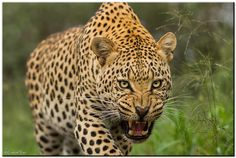 SNARL!!!!! by Conrad Tan on 500px | Leopard, Limpopo, South Africa √
