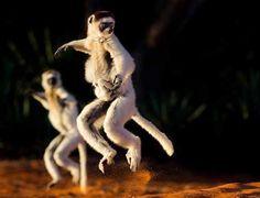 Verreaux's Sifakas (a species of lemur, a primitive primate), Madagascar. By British brothers William & Matthew Burrard-Lucas. Wild Creatures, All Gods Creatures, Primates, Mammals, Wildlife Photography, Animal Photography, Baby Animals, Cute Animals, Wild Animals