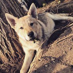#lupo #lupocecoslovacco #cane #dog #amore